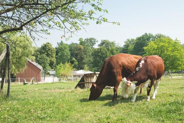 Kühe Elsa und Kimberly